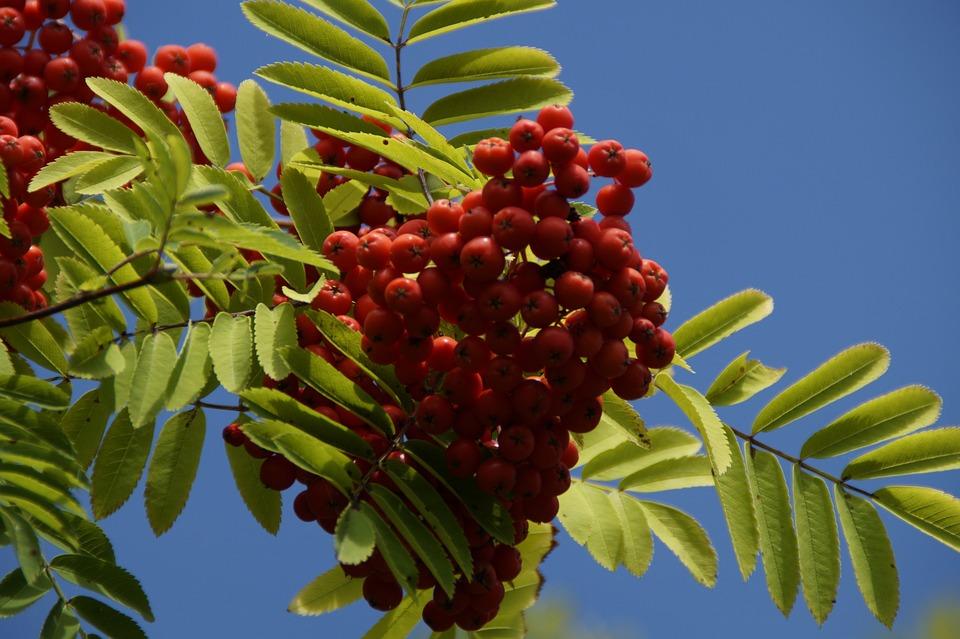 Mountain Ash, Berries, Rowanberries, Red, Fruits, Ash