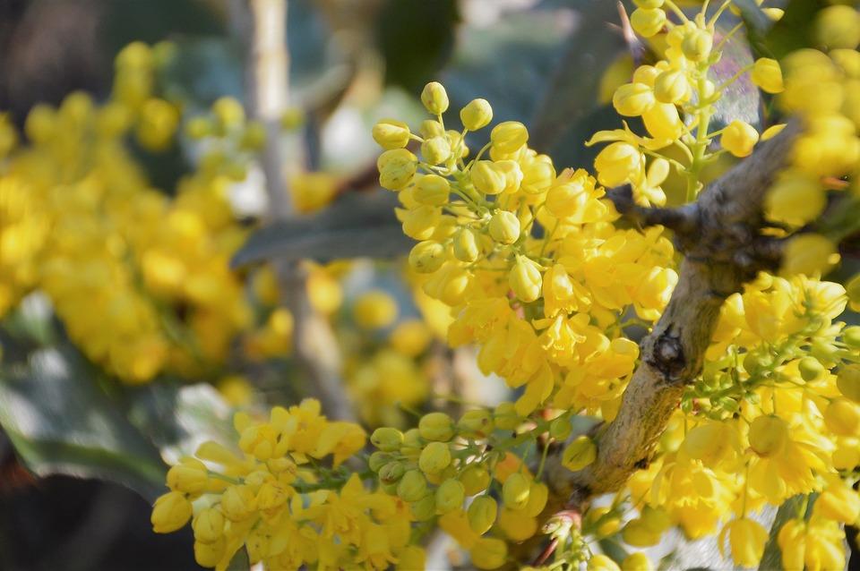 Mahonia, Shrub, Berries, Flowers, Plants, Ornamental