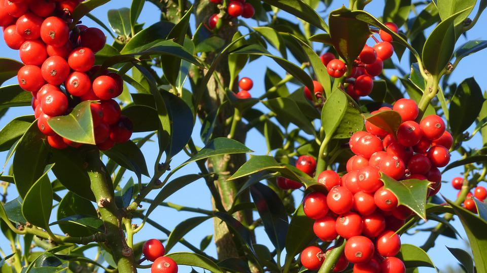 Hulst, Nature, Trees, Shrubs, Berries, Green, Plant