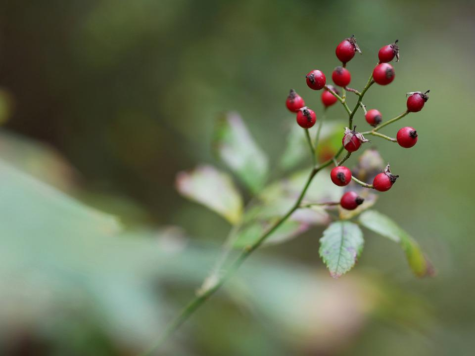 Autumn, Berry, Nature, Red, Fruits, Bush, Plant, Leaves