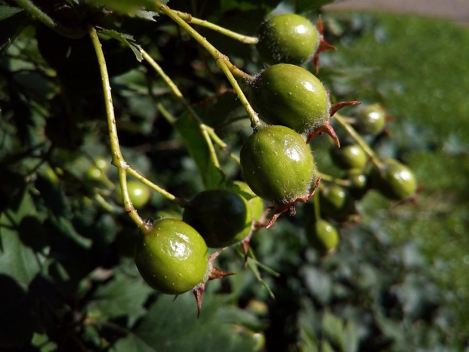 Berry, Green, Hawthorn, Summer