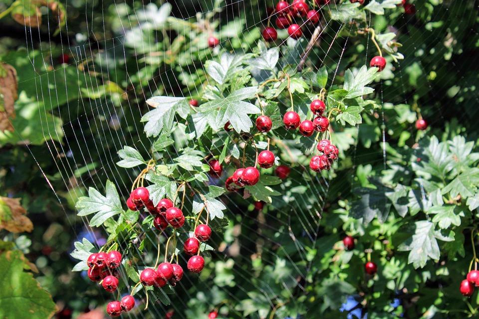 Spider Web, Hawthorn, Meidoorn Bessen, Berry, Red