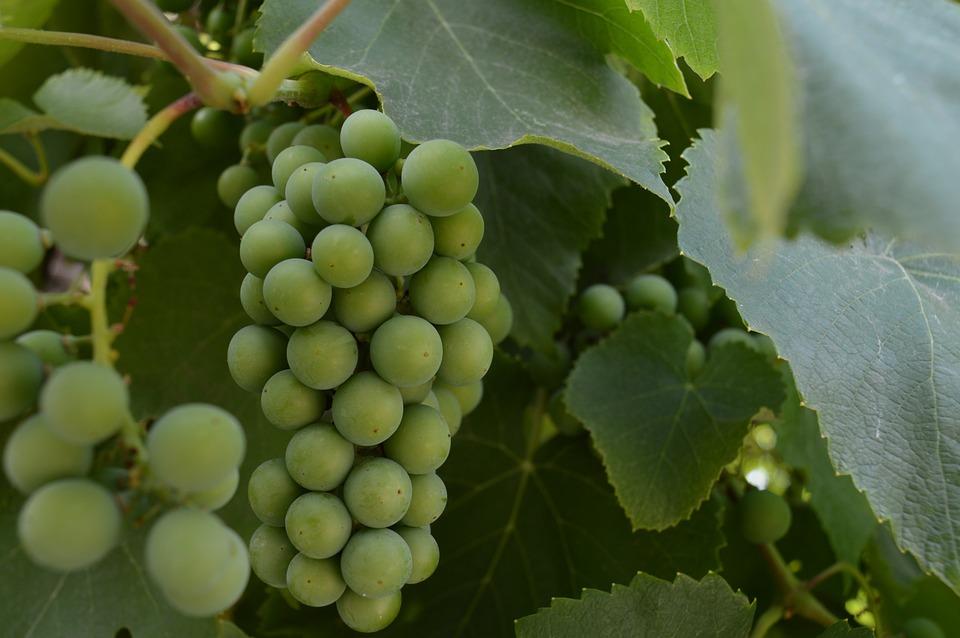 Grapes, Unripe Grapes, A Bunch Of, Loza, Berry, Unripe