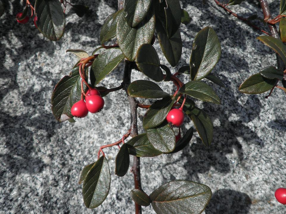 Plant, Ground Cover, Berry Red, Nature, Leaves, Bush