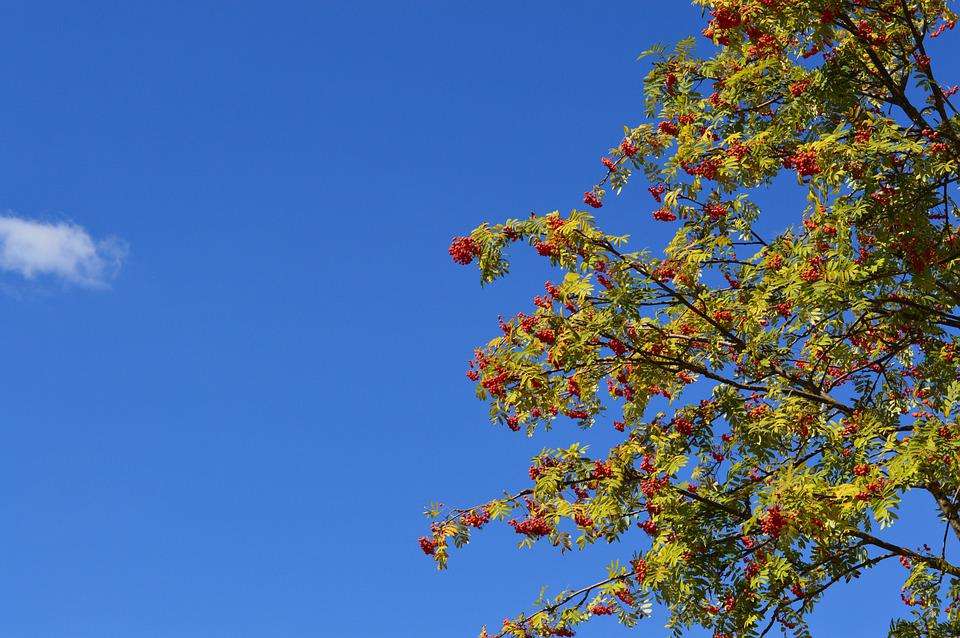 Rowan, Sky, Berry, Red, Leaves, Branch, Summer, Fruit