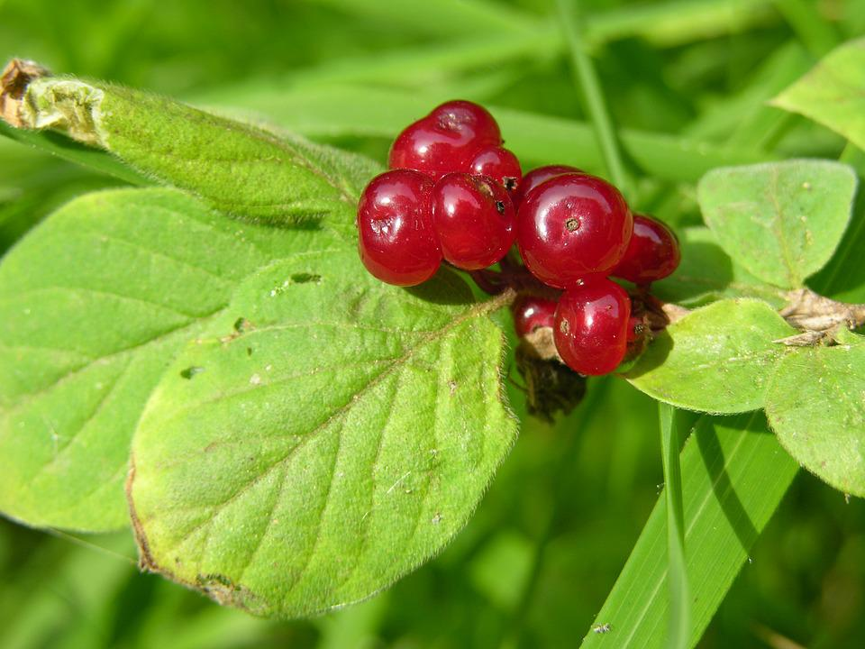 Berry, Berry Red, Nature, Plant, Fruits, Food