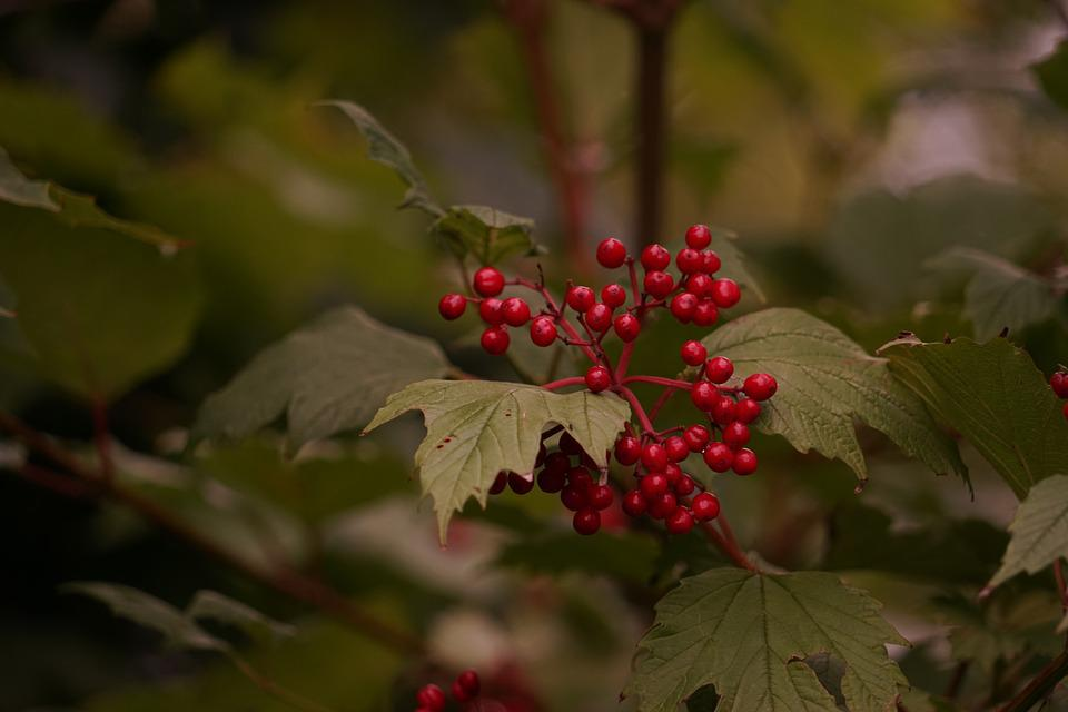 Berries, Red, Tree, Berry Red, Plant, Wild Berries