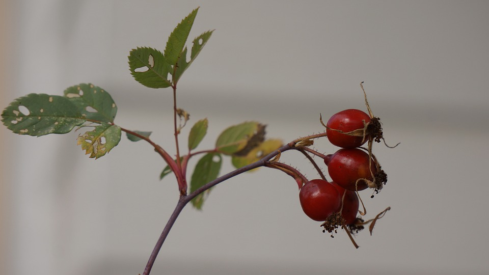 Rose Hip, Bunch, Rose, Berry