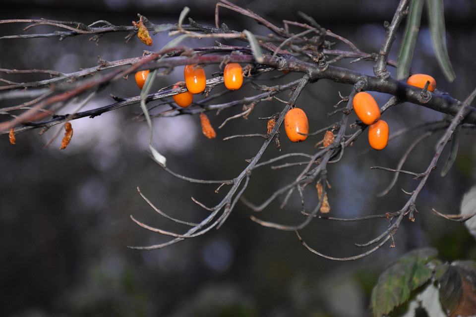 Sea-buckthorn, Branch, Nature, Plant, Berry, Orange