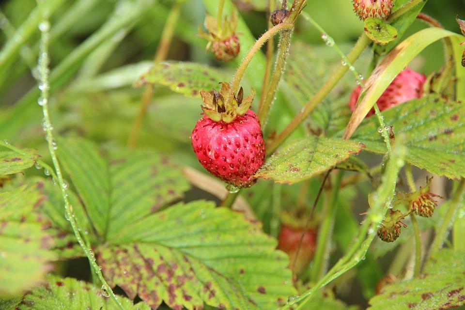 Wild Strawberry, Berry, Red, Sweet, Vitamins, Fresh