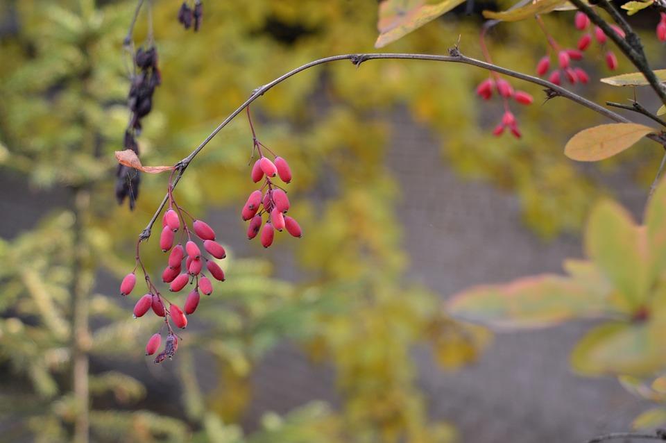 Barberry, Berry, Ripe, Harvest, Vitamins, Autumn
