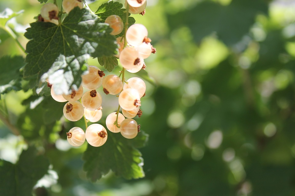 Currant, Yellow, Yellow Currants, Garden, Berry, Summer