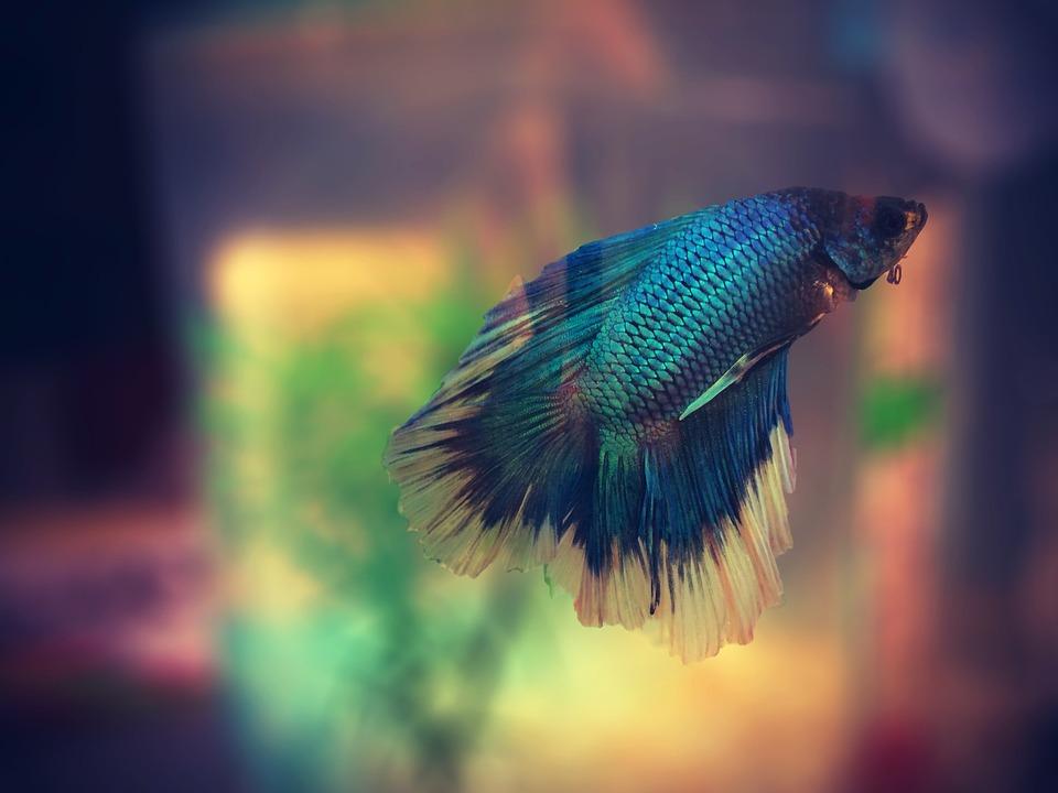 Fish, Aquarium, Colorful, Betta, Macro, Swimming