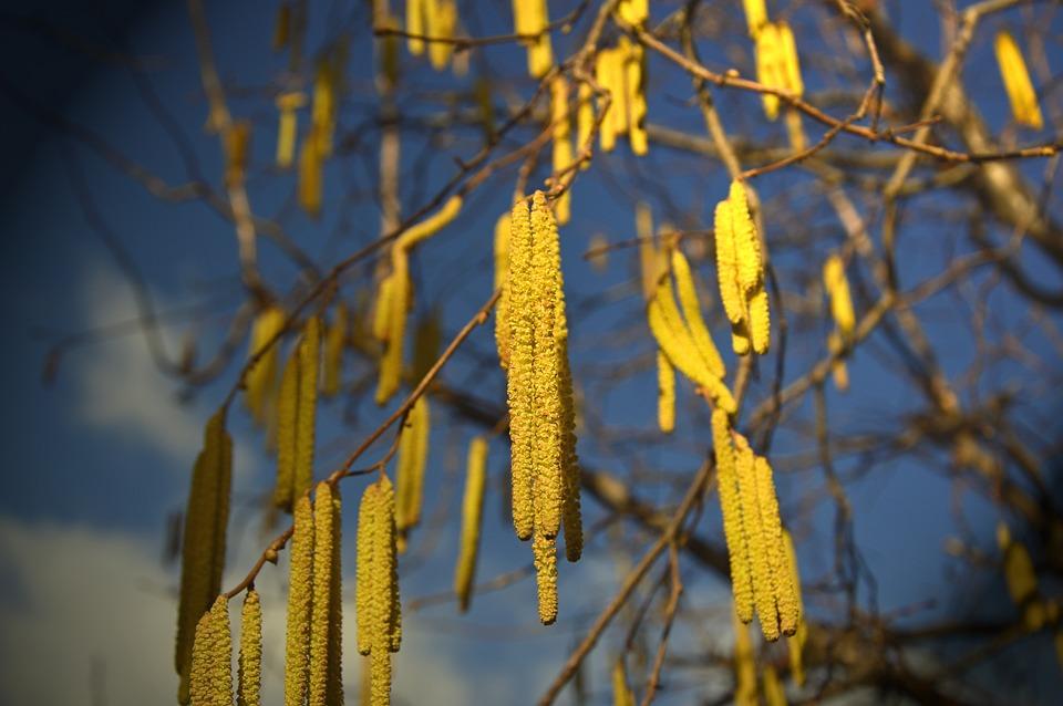 Hazelnut, Flowers, Kitten, Inflorescence, Betulaceae