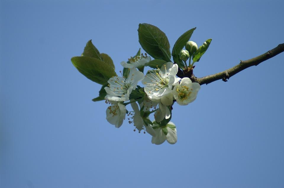 Blossom, Fruit, Plum, Spring, Betuwe