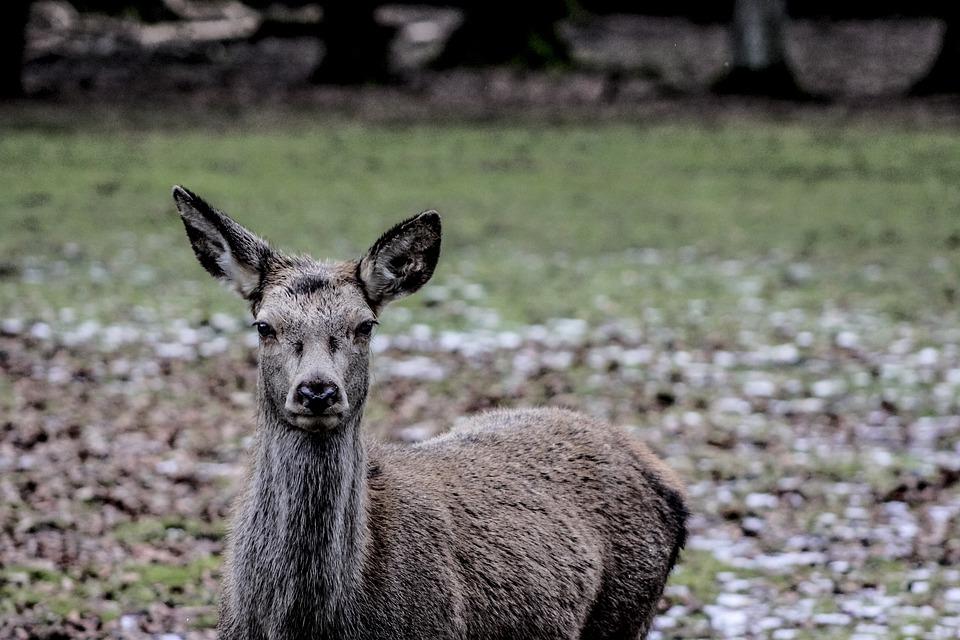 Białowieża, Doe, A Female Deer, Demonstration Reserve