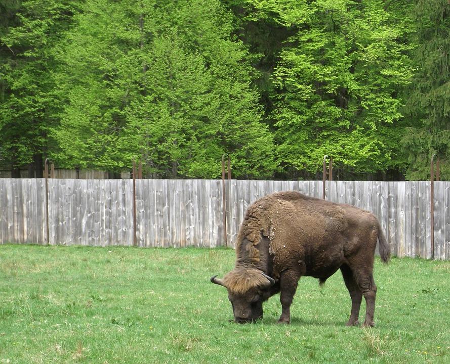 Bison, Nature, Białowieża