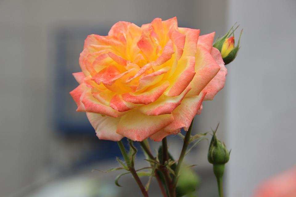 Rose, Flower, Plant, Bicolor Flower, Petals, Bloom
