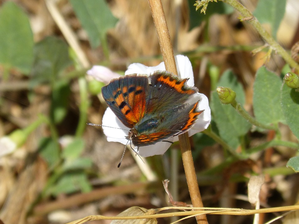 Butterfly, Lycaena Phlaeas, Bicolor Mantle, Coure Comú