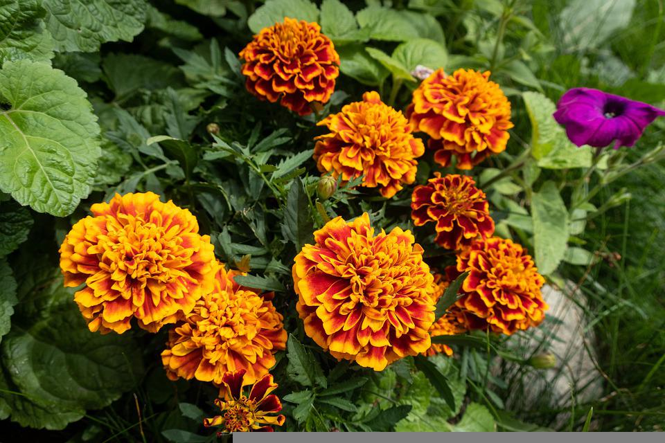 Barhotki, Flowers, Bicolored Flowers, Bicolored Petals
