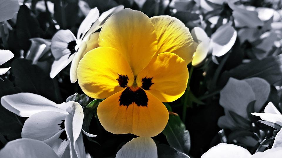 Black, Biel, Flower, Spring, Photo, Nature, Plant