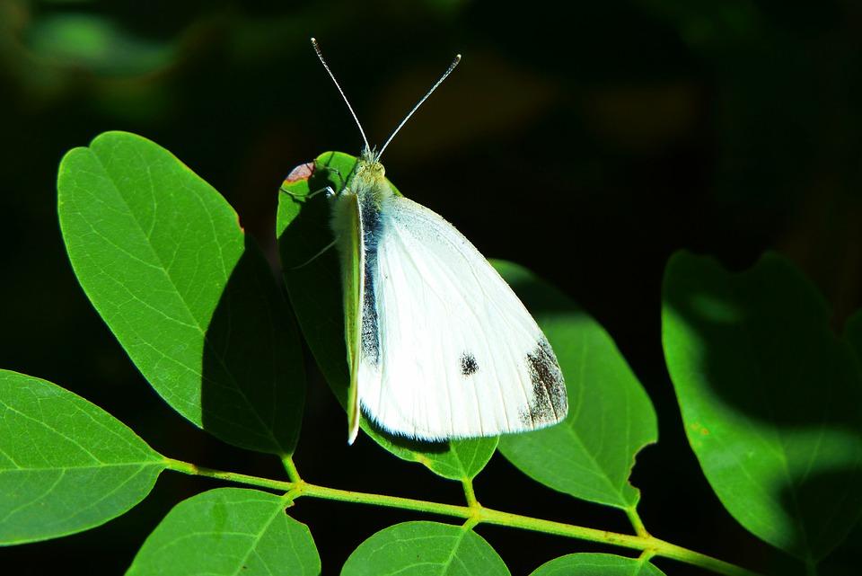 Bielinek Rzepnik, Insect, Tom, Butterfly Day, Foliage