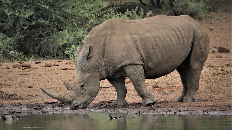 White Rhino, Drinking, Water, Hole, Big 5, Animals