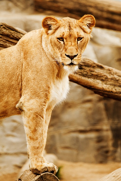 Africa, Animal, Big, Carnivore, Cat, Eyes, Head, Lion