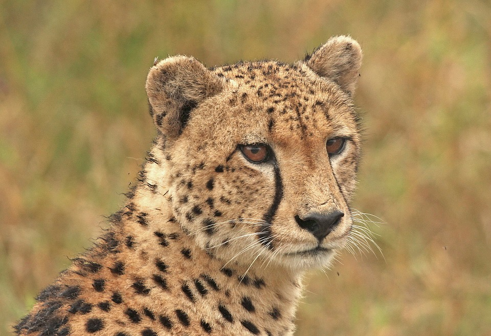 Cheetah, Cheetah Head, Big Cat, Wildlife, Predator