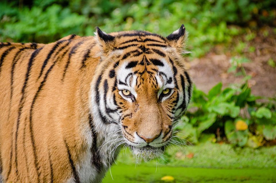 Animal, Tiger, Big Cat, Blur, Carnivore, Cat, Close-up