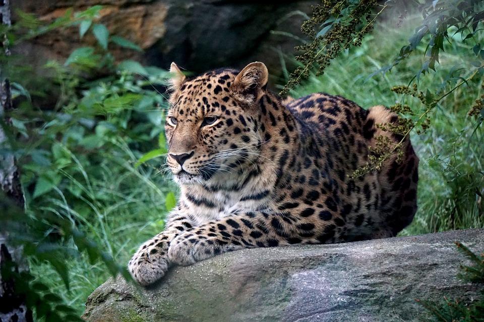 Leopard, Zoo, Leipzig, Predator, Fur, Big Cat