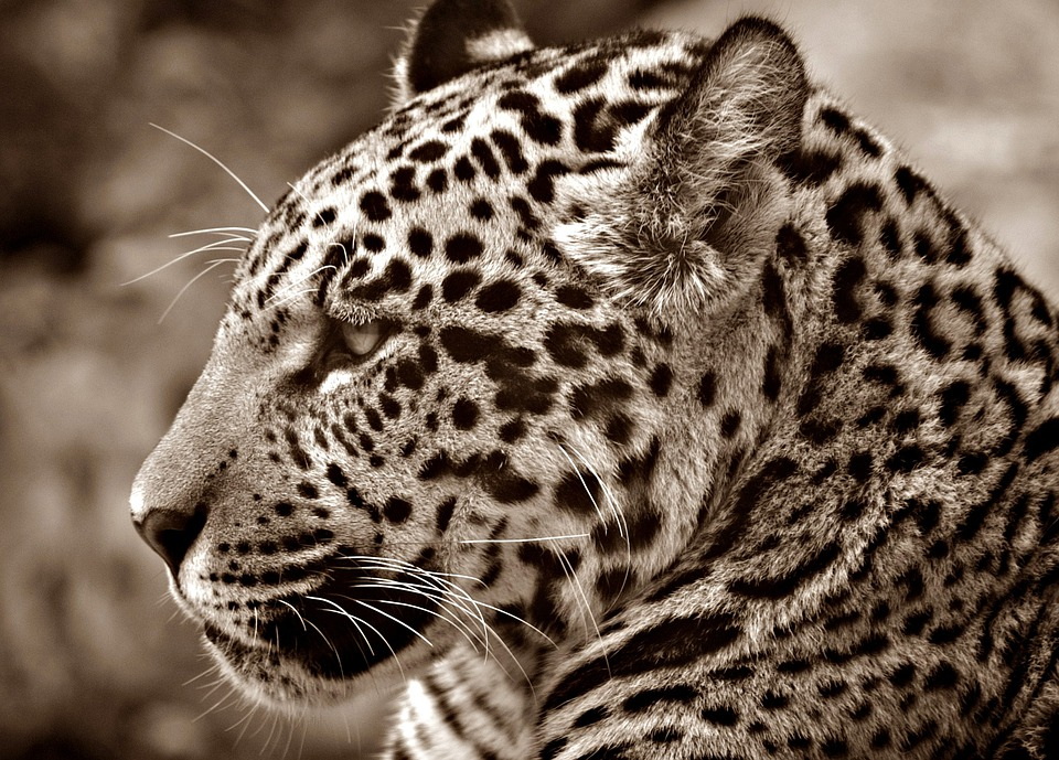Jaguar, Halbwüchsig, Sepia, Profile, Big Cat, Head