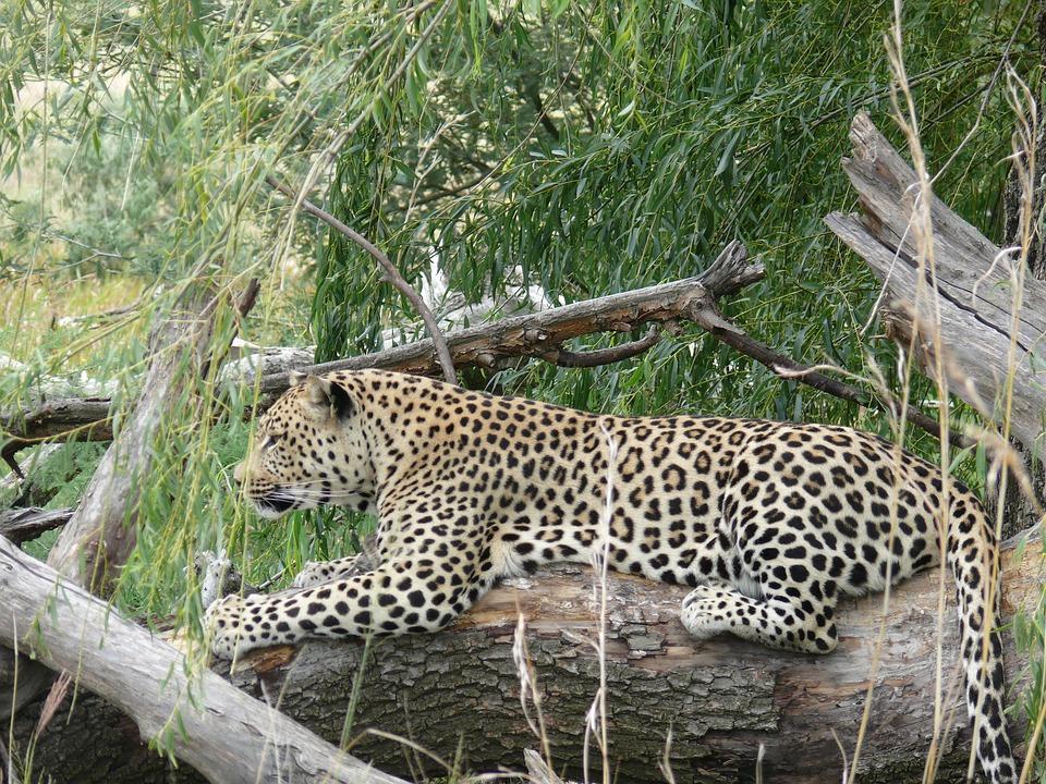 Leopard, Big Cat, Predator, Carnivore, Panthera