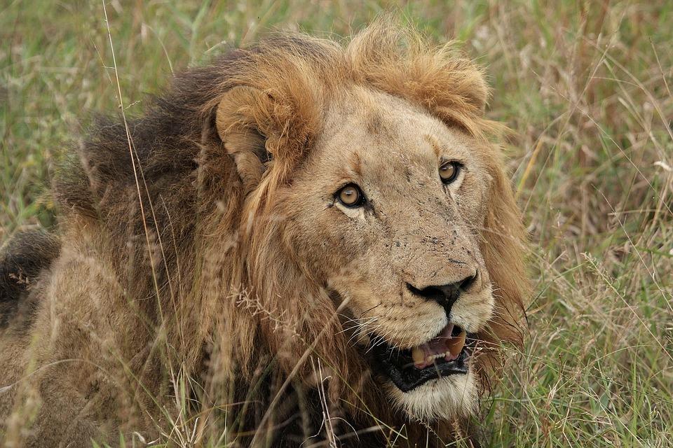 Lion, Lion Head, Male Lion, Wildlife, Big Cat