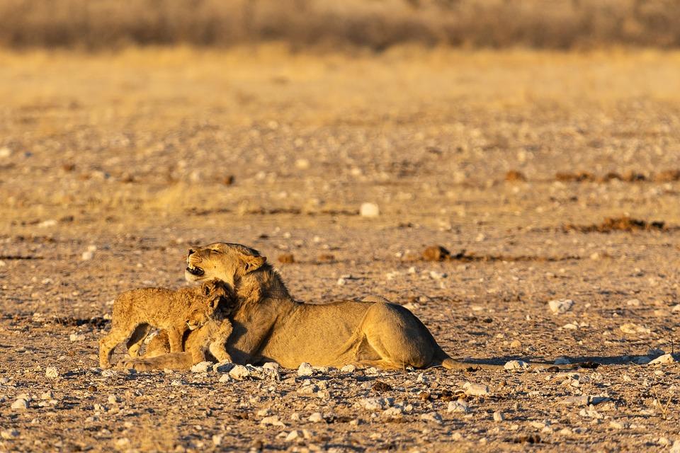 Lion, Baby, Young, Mane, Big Cat, Predator, Lion's Mane