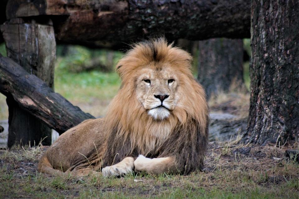 Lion, Close Up, Animal World, Predator, Cat, Big Cat