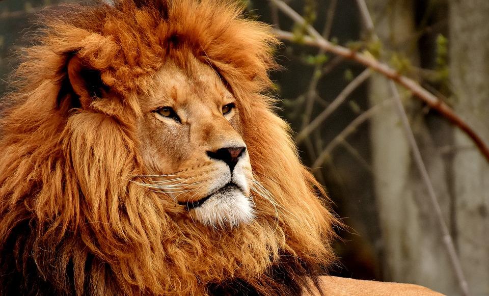 Lion, Predator, Dangerous, Mane, Big Cat, Male