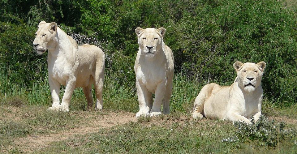 White Lion, Lion, White, Predator, Nature, Big Cat
