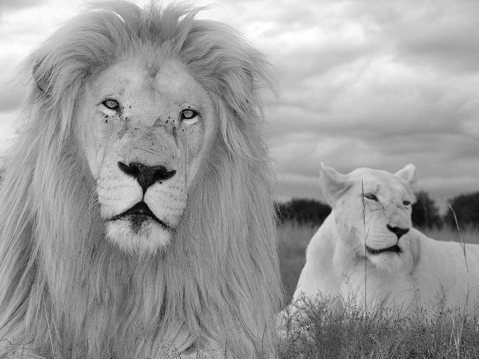 White Lion Couple, White Lion, White, Lion, Big Cat
