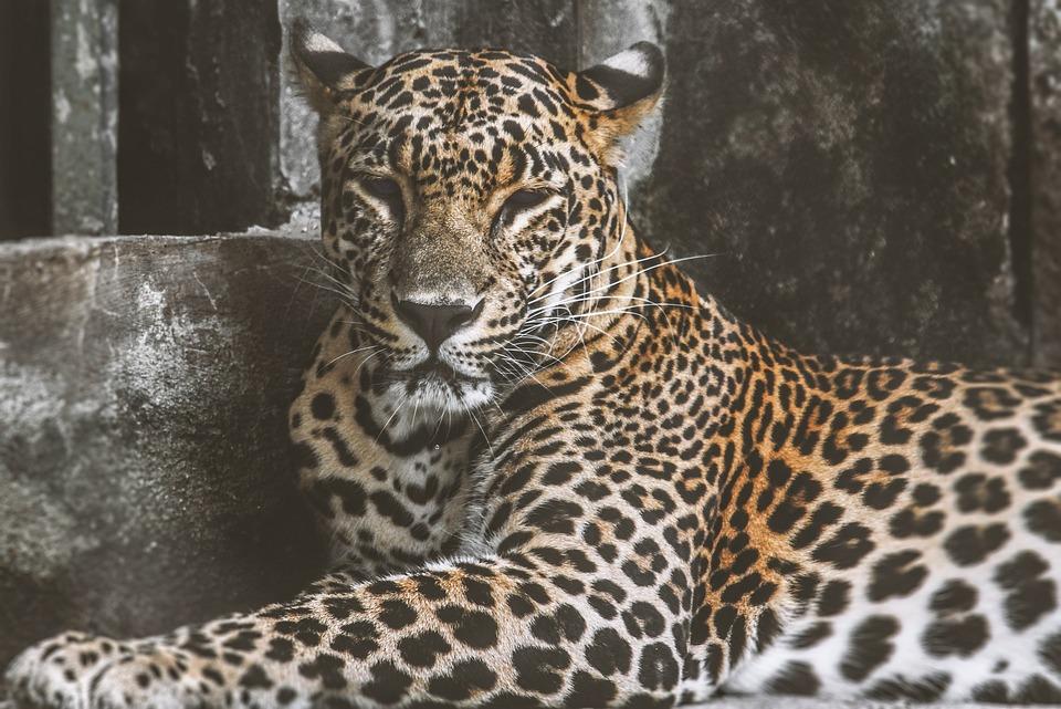 Animal, Mammal, Wildcat, Wildlife, Big Cat, Predator