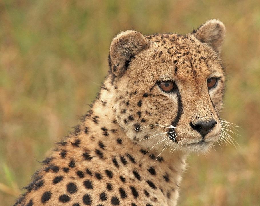 Cheetah, Cheetah Head, Wildlife, Big Cat, Carnivore
