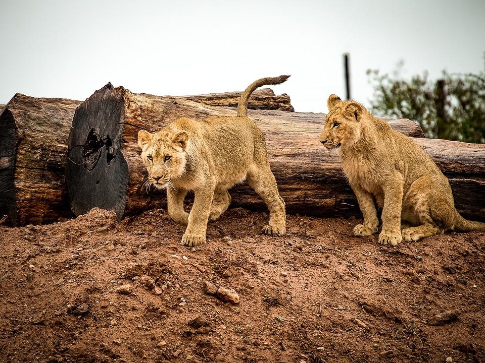 Lion, Lion Cub, Big Cat, Animal, Africa, Wildlife