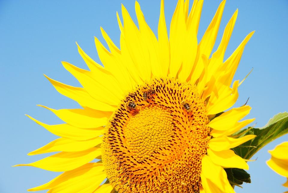 Sunflower, Sun, Flower, Yellow, Big Flower