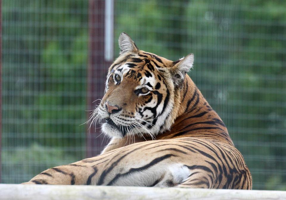 Tiger, Cat, Looking, Animal, Big, Nature, Wildlife