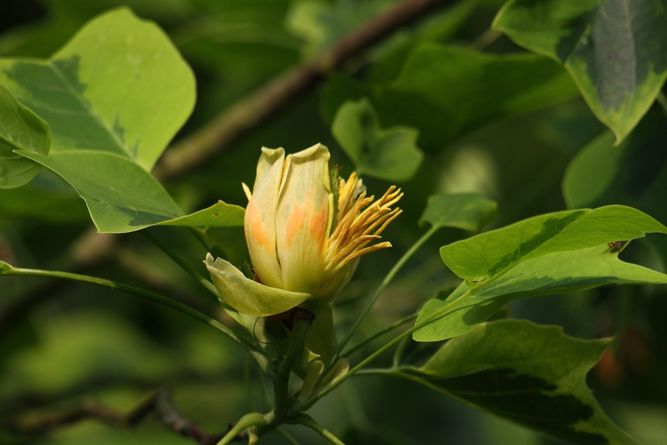 Free photo big tree yellow tulip tree nature flower max pixel flower tulip tree yellow nature big tree mightylinksfo