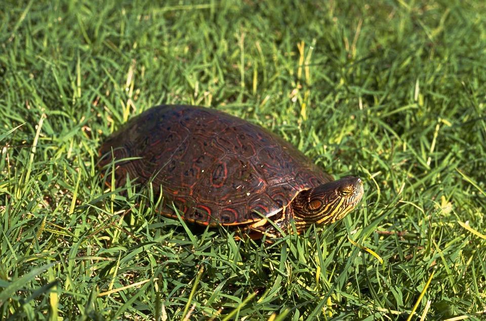 Turtle, Slider, Bend, Big, Turtles, Amphibians