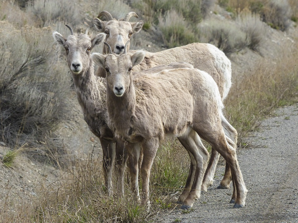 Bighorn Sheep, Bighorn Ram, Horns, Ovis Canadenis
