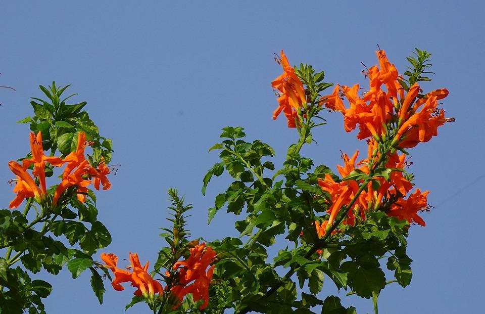 Flower, Tecoma Capensis Cape Honeysuckle, Bignoniaceae