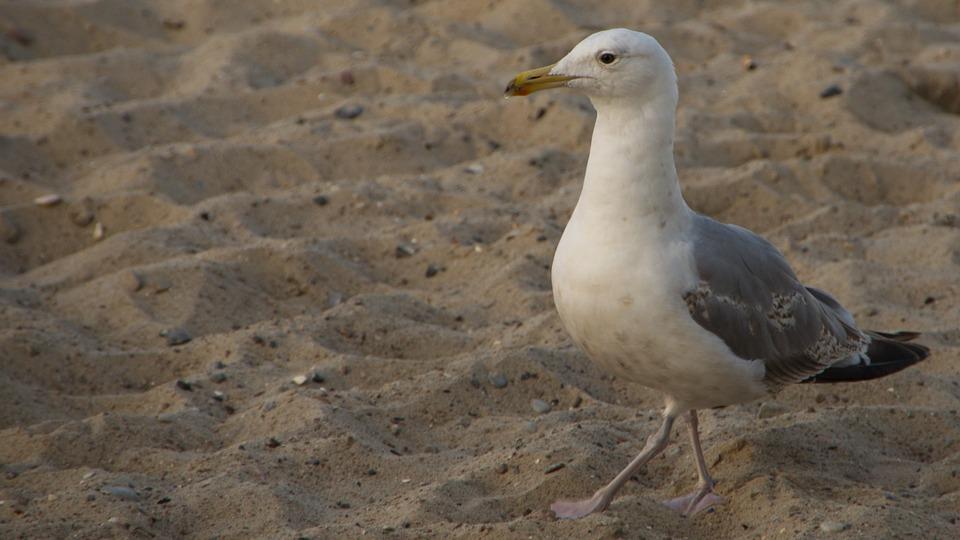 Seagull, Beach, Bird, Coast, Gull, Animal, Bill