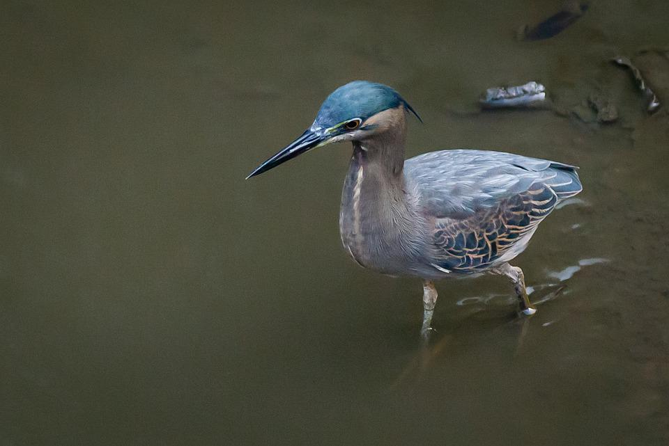 Bird, Feathers, Plumage, Beak, Bill, Ornithology